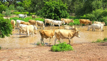 cows gambia